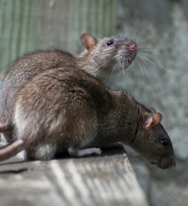 How do I get rid of rats and mice?